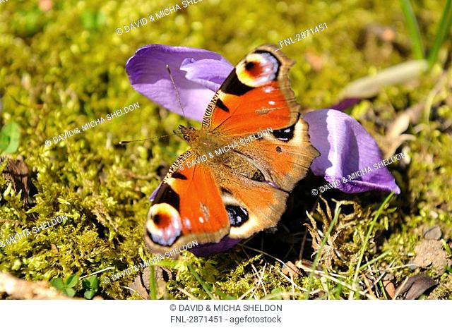Close-up of peacock butterfly pollinating crocus flower in field, Franconia, Bavaria, Germany