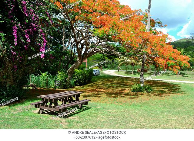 Picnic table under a red flowering tree, Sigatoka Sand Dunes National Park, Viti Levu, Fiji
