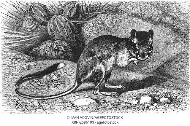 Phillips' kangaroo rat, Dipodomys phillipsii, Heteromyidae, illustration from book dated 1904