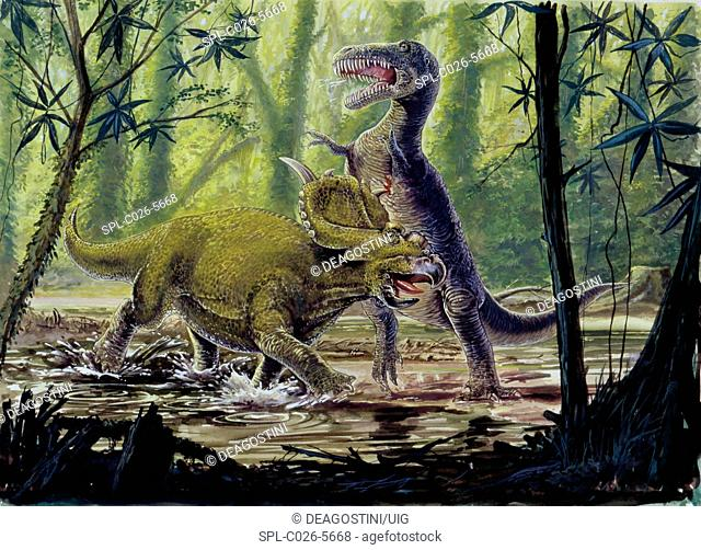 Pachyrhinosaurus and theropod fighting. Computer illustration of Pachyrhinosaurus sp. (left) and theropod (right) dinosaurs fighting in a prehistoric forest