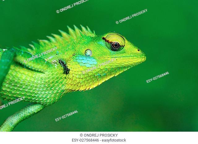 Detail face portrait of lizard. Green Garden Lizard