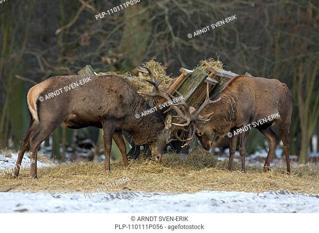 Red deer stags Cervus elaphus fighting near manger in winter in the snow, Denmark