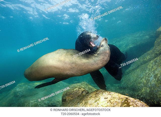 Californian Sea Lion, Zalophus californianus, Cabo Pulmo Marine National Park, Baja California Sur, Mexico