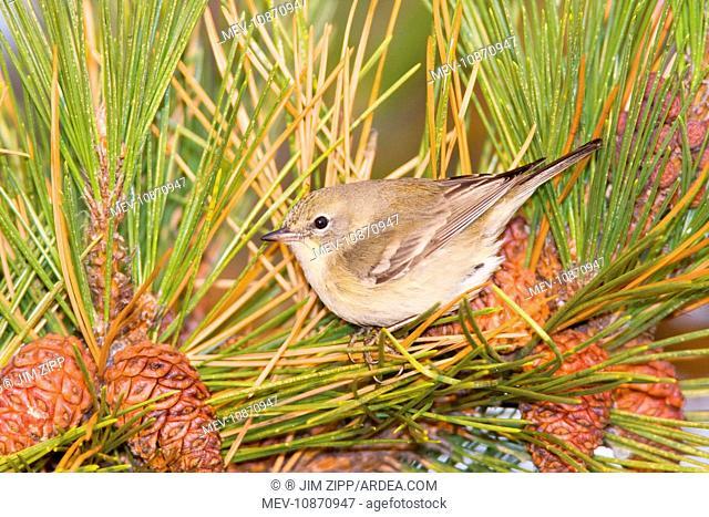 Pine Warbler - first winter female,. Connecticut in December