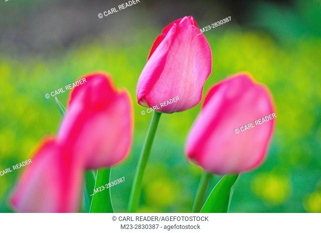Tulips in soft focus, Pennsylvania, USA