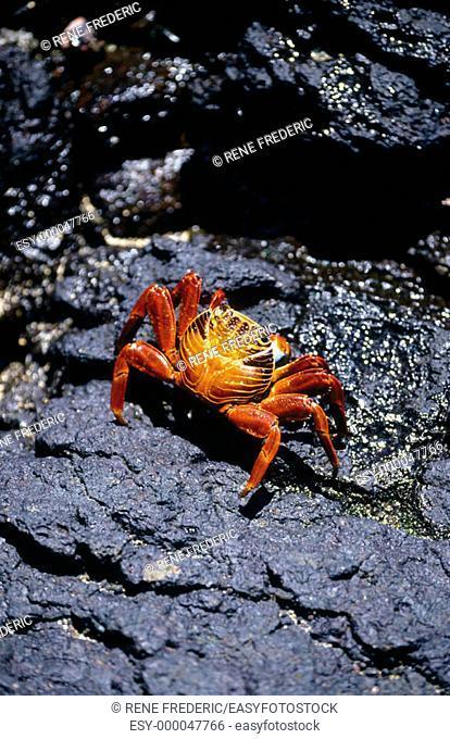Sally Lightfoot Crab (Grapsus grapsus). Galápagos Islands, Ecuador