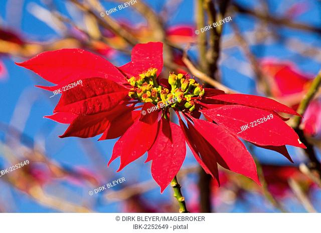 Inflorescence, Poinsettia or Christmas Star (Euphorbia pulcherrima), South Africa, Africa