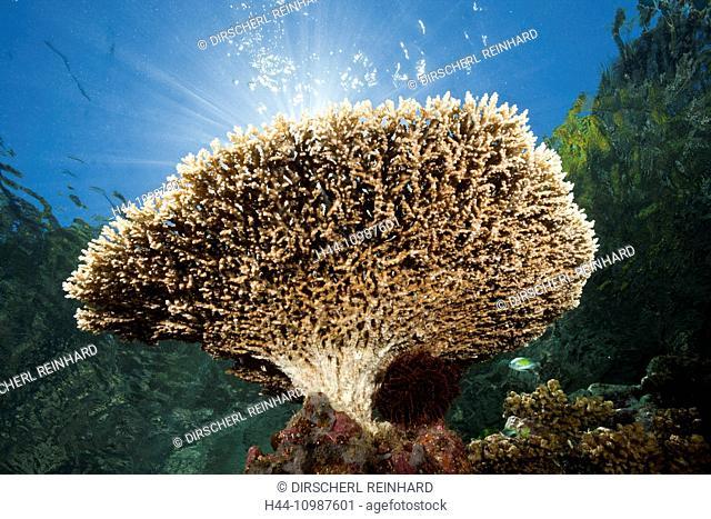 Table Coral on Reef Top, Acropora sp., Marovo Lagoon, Solomon Islands