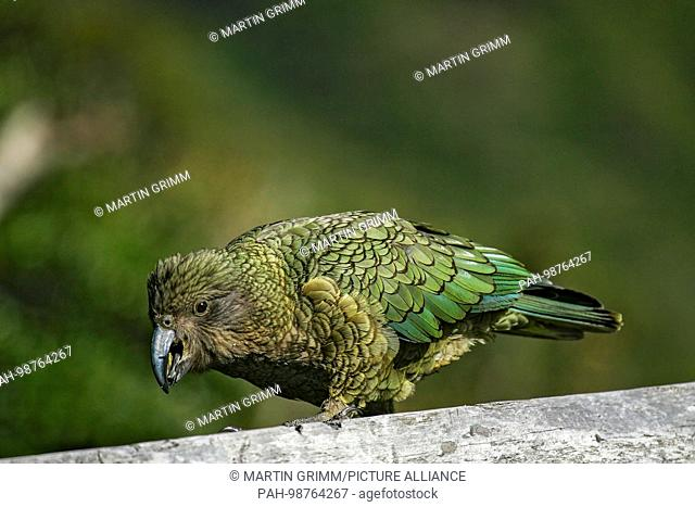 Kea (Nestor notabilis) foraging, Arthur's Pass National Park, New Zealand | usage worldwide. - /New Zealand