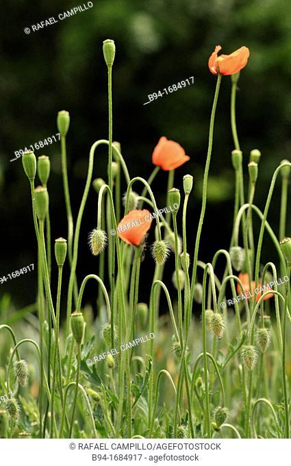 Corn poppy, corn rose, field poppy, Flanders poppy, red poppy, red weed or coquelicot (Papaver rhoeas, fam. Papaveraceae)