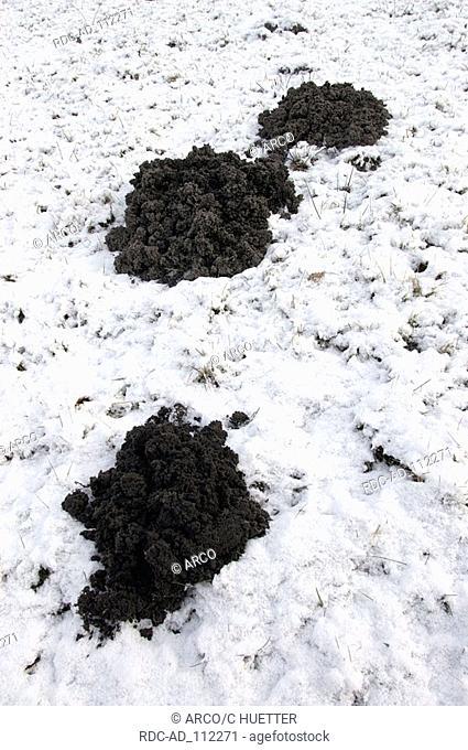 European Mole hills in winter North Rhine-Westphalia Germany Talpa europaea