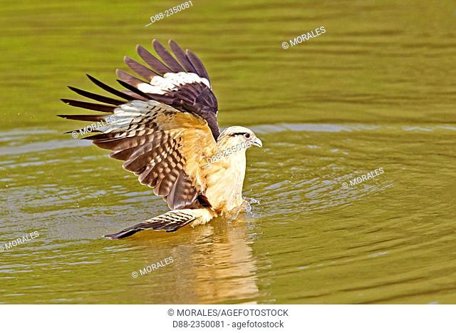South America, Brazil, Mato Grosso, Pantanal area, Yellow-headed caracara Milvago chimachima, in flight, fishing