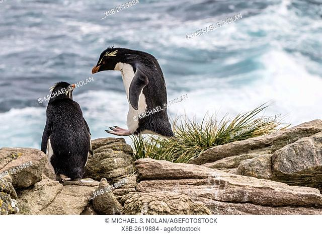 Adult rockhopper penguin, Eudyptes chrysocome, at nesting site on New Island, Falkland Islands, U. K. Overseas Protectorate