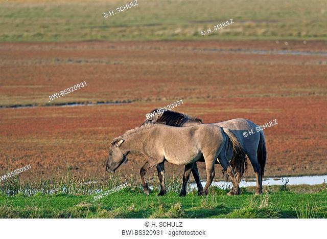 Konik horse (Equus przewalskii f. caballus), stallion and mare grazing, Germany, Schleswig-Holstein, NSG Woehrdener Loch