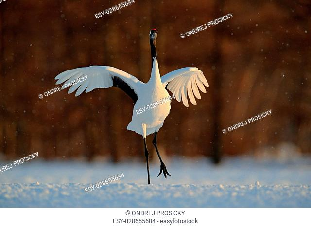 Dancing white bird Red-crowned crane, Grus japonensis