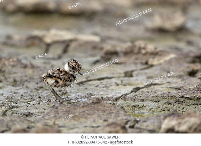 Northern Lapwing Vanellus vanellus chick, one-day old, with muddy down, standing on mud, Suffolk, England, june