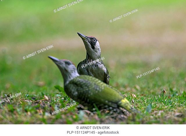 European green woodpecker (Picus viridis) female with juvenile searching for ants in garden lawn