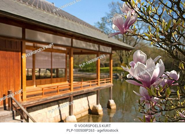Japanese tea-house and Magnolia blossom Magnoliaceae at Japanese garden, Hasselt, Belgium
