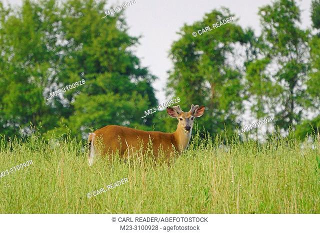 A white-tailed deer buck,Odocoileus virginianus, with its antlers regrowing, Pennsylvania, USA