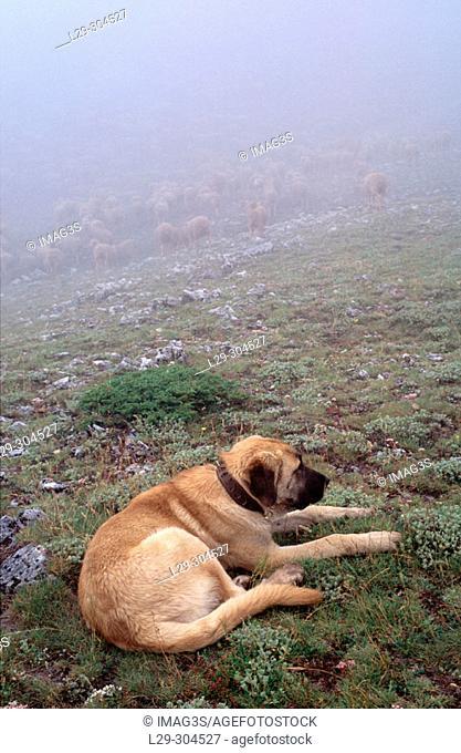 Mastiff near Saliencia lakes area. Somiedo Natural Park. Asturias, Spain