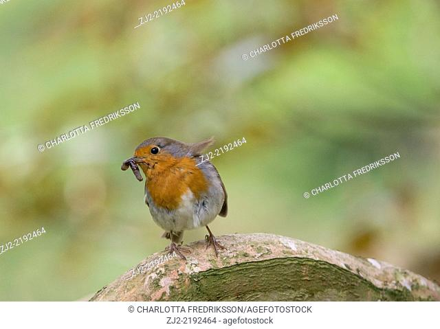 European robin (erithacus rubecula) perched in tree, United Kingdom