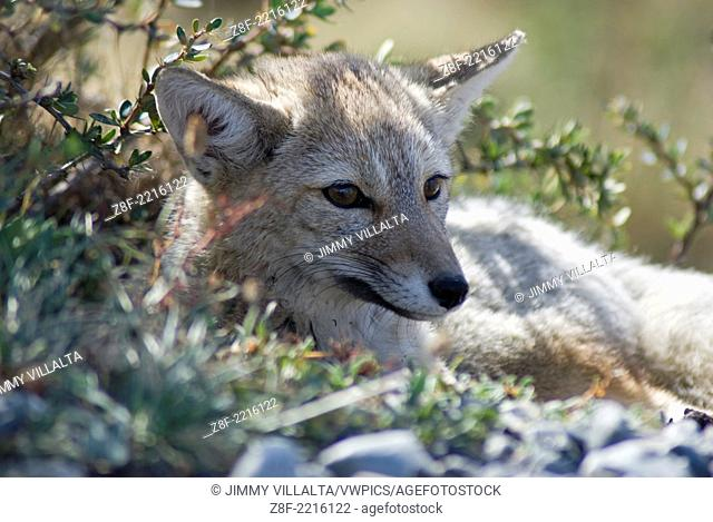 Gray Foxes Patagonia Close Up, Torres de Paine National Park