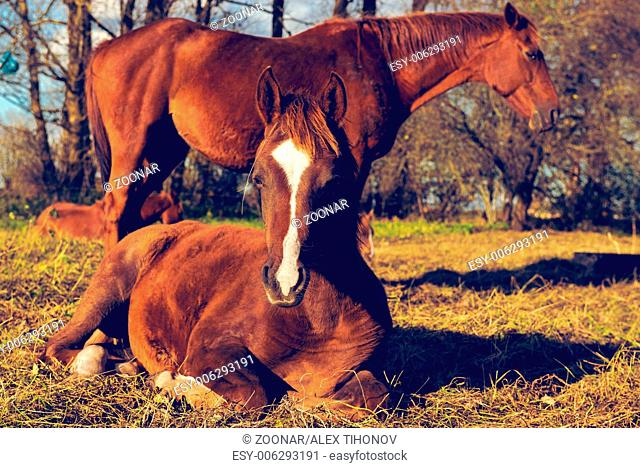 Two beautiful brown horses outdoors