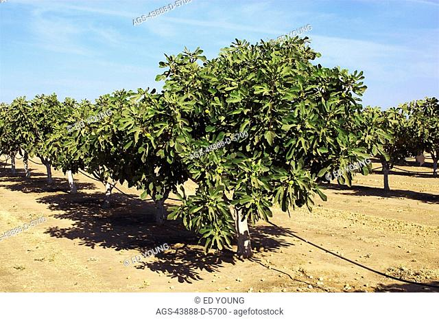 Agriculture - Fig trees in an orchard, with ripe fruit on the trees and drying fruit in the row middles / CA -San Joaquin Valley