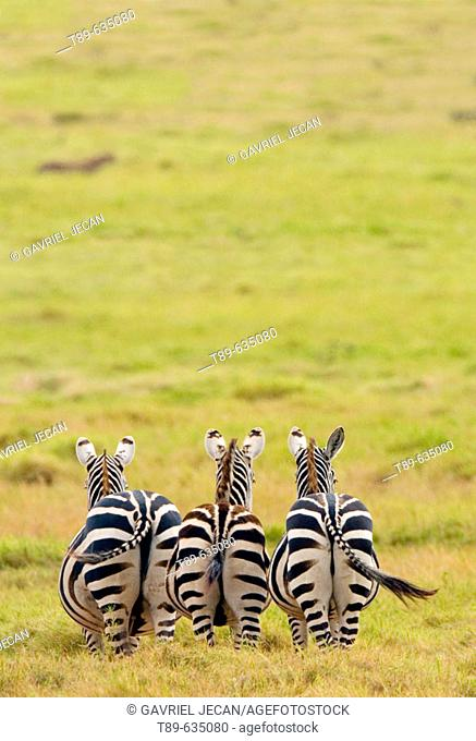 Plains  Zebra (Equus bruchelli) grazing in golden grass