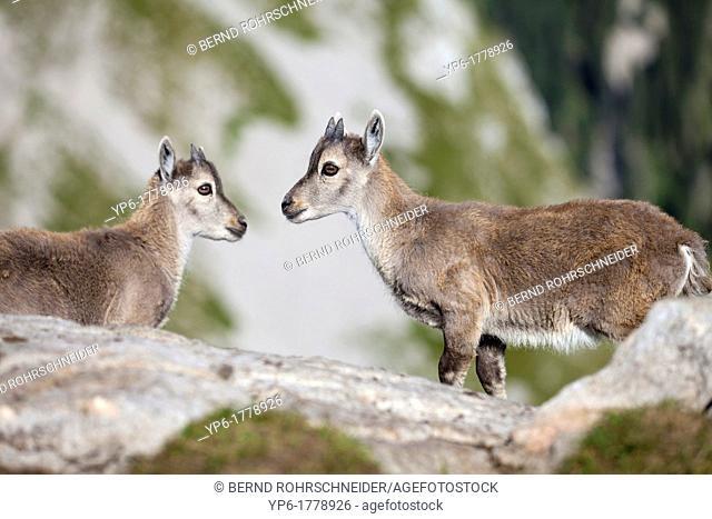 young Alpine Ibexes Capra ibex, Niederhorn, Switzerland