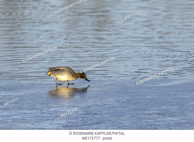Eine männliche Krickente im zugefrorenen Uferbereich des Ökosees im saarländischen Dillingen
