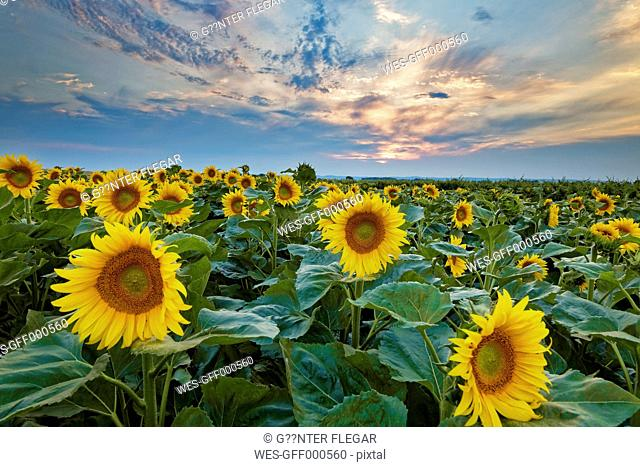 Austria, Burgenland, View of sunflower field at sunset