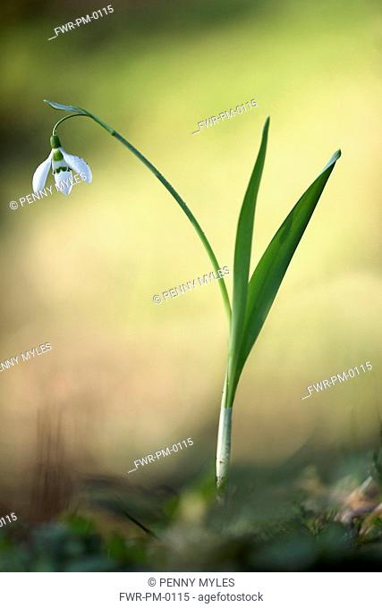 Snowdrop, Galanthus nivalis, Side view of single white open flower with leaves rising out of grass soft focus behind
