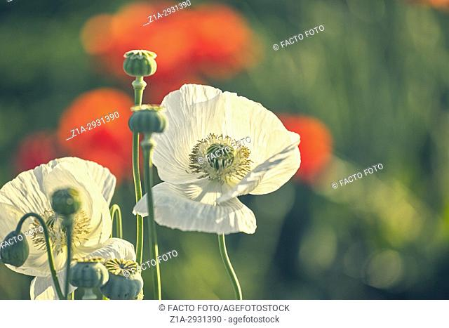 White opium poppy and red poppy flowers field. Getafe, Community of Madrid. Spain