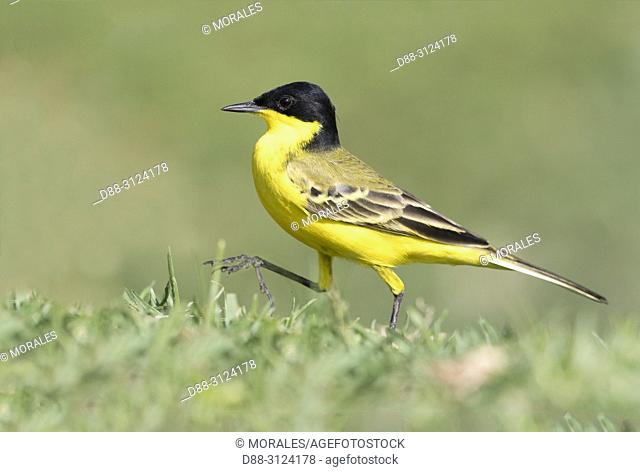 Africa, Ethiopia, Rift Valley, Ziway lake, . Yellow Wagtail (Motacilla flava feldegg), on the ground, hunting insects