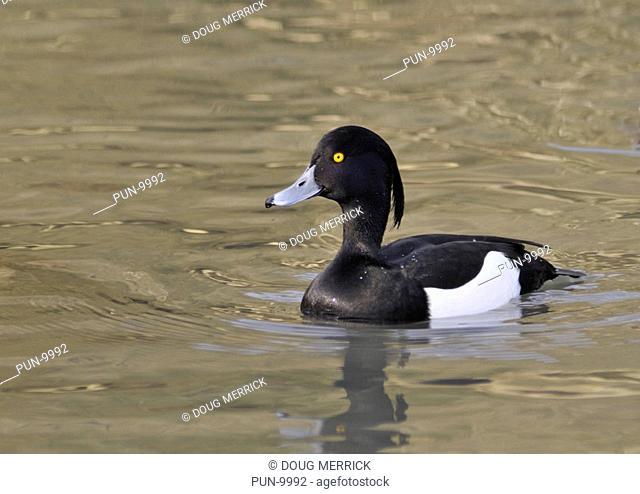 Male tufted duck Aythya fuligula looking proud and elegant