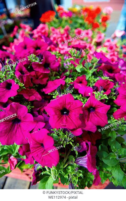Petunia Bedding planrs, Dolac Flower Market  Tržnica Dolac  , Zagreb, Croatia