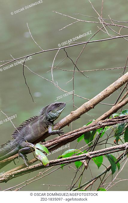 Indo-Chinese Water Dragon Physignathus cocincinus in a branch overhanging stream  Khao Yai National Park  Thailand