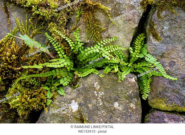 Fresh fern on wall, Isle of Skye, Scotland, United Kingdom