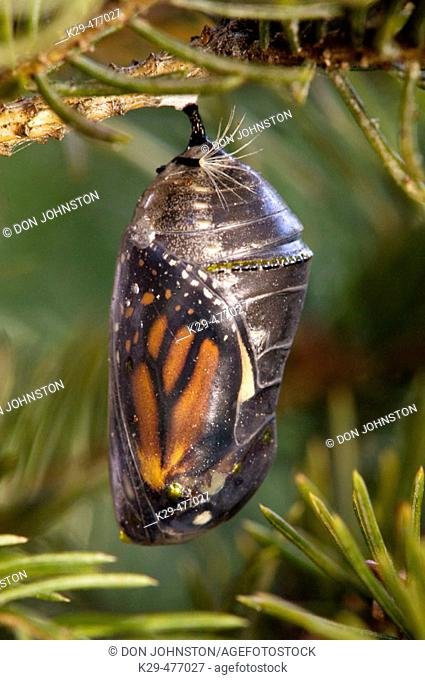 Monarch butterfly (Danaus plexippus), chrysallis with adult about to emerge. Lively, ON, Canada