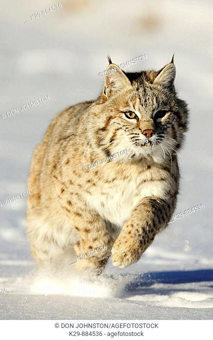 Bobcat Felis rufus- captive  Baby, first winter