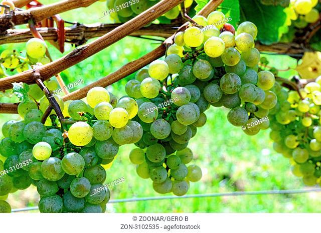 Sonnengereifte Trauben am Weinstock, Sun-ripened grapes on the vine