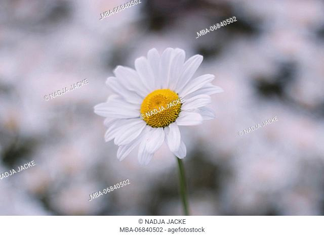 marguerites, flower meadow, close-up