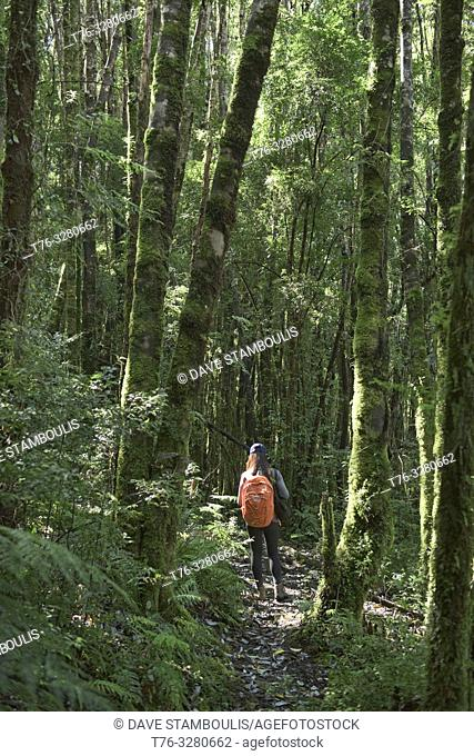 Trekking in temperate rain forest in Queulat National Park, Patagonia, Aysen, Chile