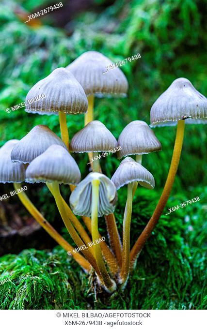 Beautiful bonnet mushroom (Mycena renati). Saja-Besaya Natural Park. Cabuerniga valley. Cantabria, Spain