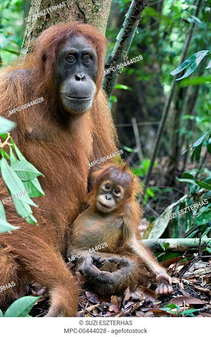 Sumatran Orangutan (Pongo abelii) mother and one and a half year old baby resting, Gunung Leuser National Park, north Sumatra, Indonesia