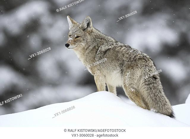 Coyote (Canis latrans) in winter, standing on top of a snow covered little hill, watching around, Yellowstone NP, USA