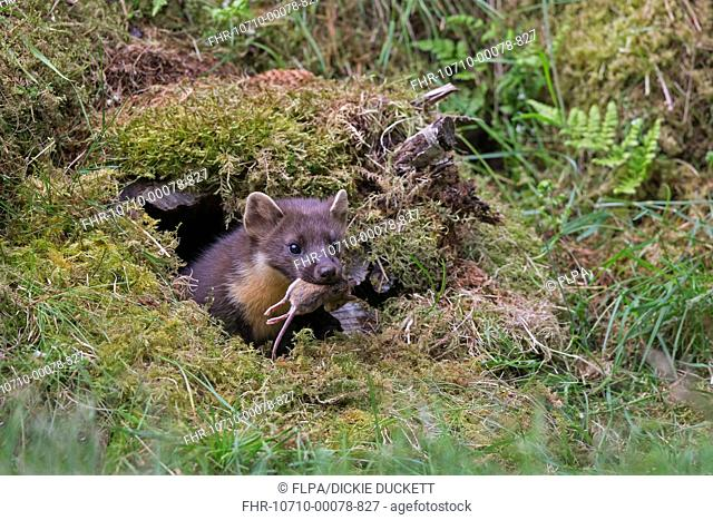 Pine Marten (Martes martes) adult, with mouse prey in mouth, emerging from moss covered hollow log, Perthshire, Highlands, Scotland, July