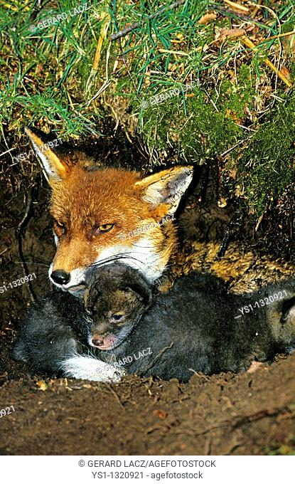 RED FOX vulpes vulpes, FEMALE WITH PUPS IN DEN, NORMANDY IN FRANCE