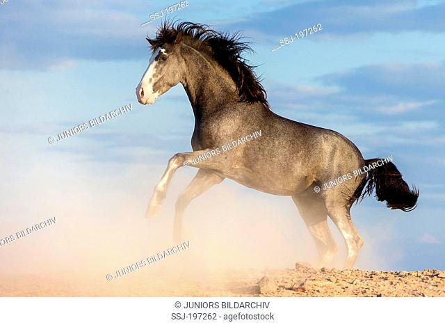 Barb Horse. Blue roan stallion rearing in the desert. Egypt